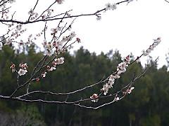 20120321sakura