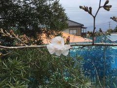 20190322sakura